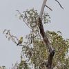 Critically Endangered Palila