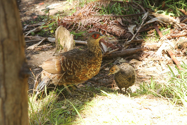 Kalij Pheasant (Hen) With Young