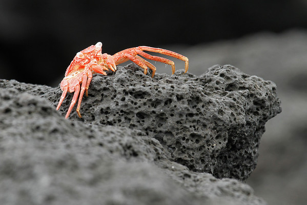 Crab On Lava Rock