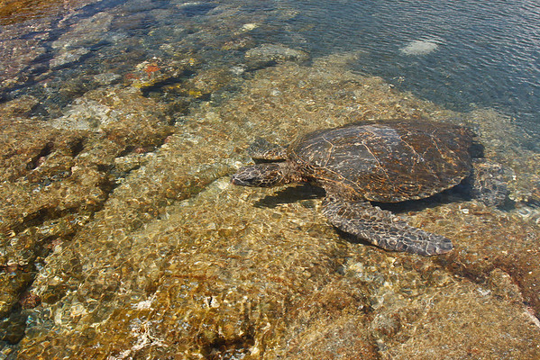 Honu, Hawaiian Green Sea Turtle