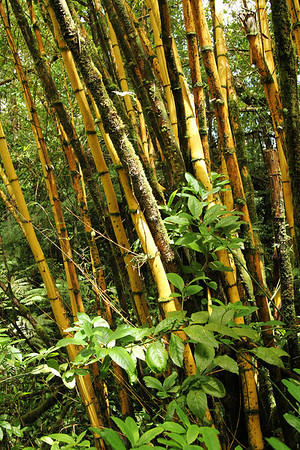 Bamboo, The Big Island, Hawaii