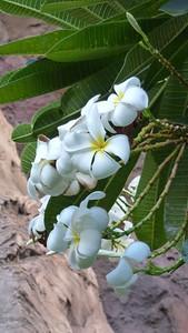 Plumeria Tree.