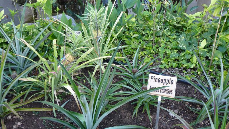 Pineapple field.