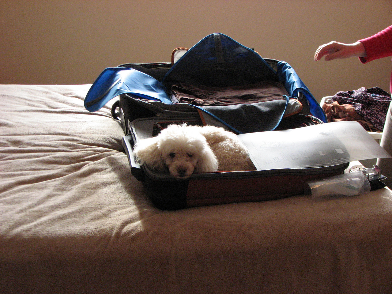The dog did not like us leaving. Hopped right back in the suitcase on arrival.