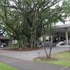 Banyan Tree in front of the Hilo Hawaiian Hotel.