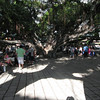 Large Banyan tree in the center of Lahaina.