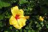 Yellow Hibiscus - Hawaii state flower.