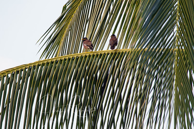 Common Mynas, ever present in Hawaii