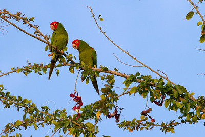 Taking an early morning walk along Alii Drive, Lisa and I came upon a flock of Red-masked Parakeets.