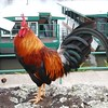 Kauai Rooster - they are all over the place!
