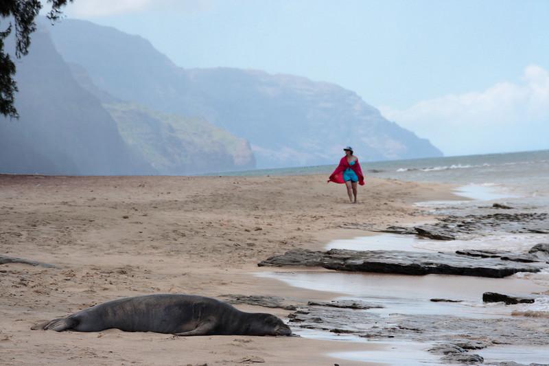 Monk seal lying in wait for unsuspecting tourist, Ke'e Beach, Na Pali coast in background<br /> Kauai