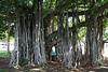 Banyan tree,  Ala Moana Beach Park