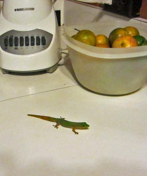 Our kitchen gecko
