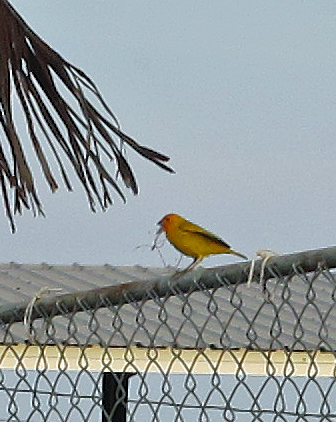 Saffron finch.  Native to South America.  We never saw birds native to Hawaii.