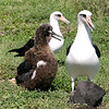 Dad, Mom and their two-month old albatross chick at Kaena Point.