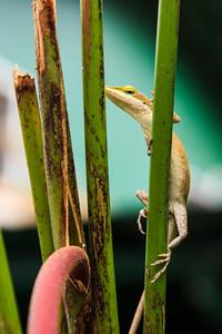 Bamboo Lizard