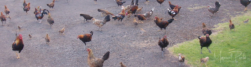 Many roosters everywhere