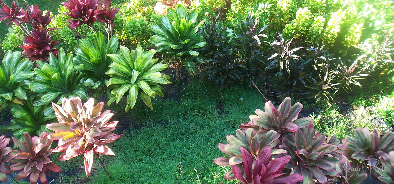 Ti plant garden