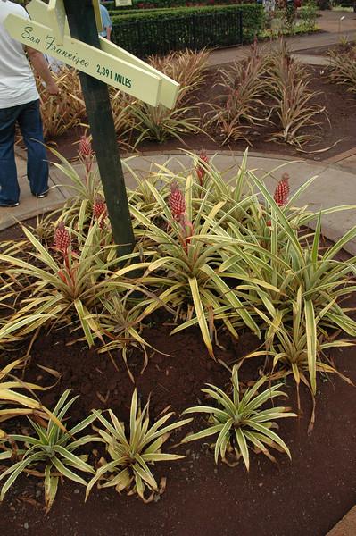 Dole Plantation<br /> Pineapple Plant