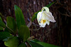 A white orchid, specifically a Cattleya 'Hawaiian Wedding Song Virgin' (Orchidaceae), blooms in the Allerton Garden in Kauai.