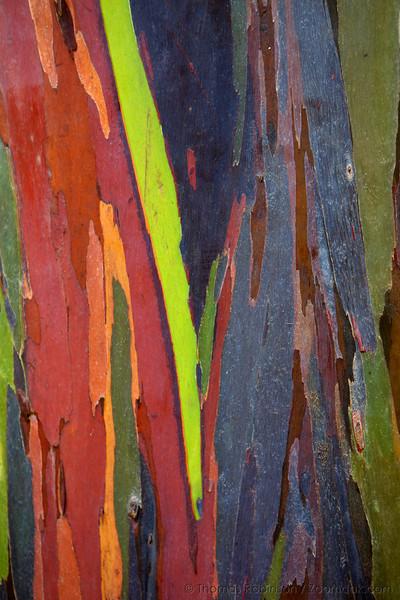 Multiple colored bark grows on a Rainbow Eucalyptus (Eucalyptus deglupta) on the west shore of Kauai.