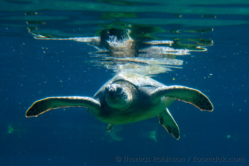 Floating Sea Turtle