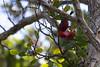 A Hawaiian Honeycreeper 'Apapane (Himatione sanguinea) loves to take nectar from the beautiful native red lehua blossom of the Ohia tree (Metrosideros polymorpha).