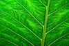 The light through the underside of a Giant Taro leaf (Alocasia macrorrhizos) creates an intricate texture.