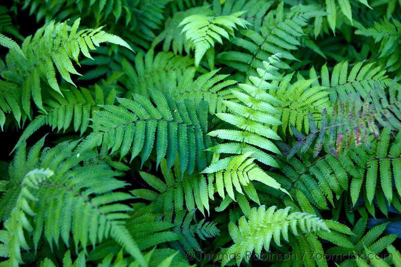 A bunch of Ho'i'o ferns (Diplazium sandwichianum) weave together making thick ground cover in the Hawaiian jungle. Hoio ferns are native to the Hawaiian Islands and grow in moist forests.
