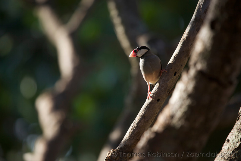 A Java Sparrow (Padda oryzivora) keeps watch perched on a branch late morning in Poipu, Kauai.