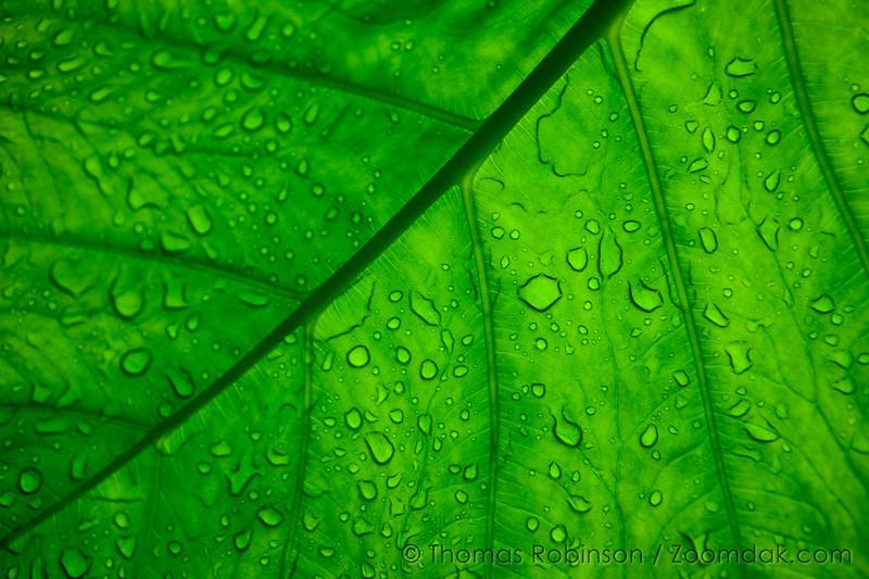 Hawaiian Leaf with Water Texture