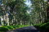 A tree tunnel of eucalyptus trees is the gateway to west shore of Kauai along the Maluhia Road.