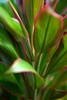 A Hawaiian Ti Plant (Cordyline fruticosa) grows with pink edges in the Allerton Garden in Kauai. Hawaiians have been using Ti leaves for clothing, leis and decoration for generations .