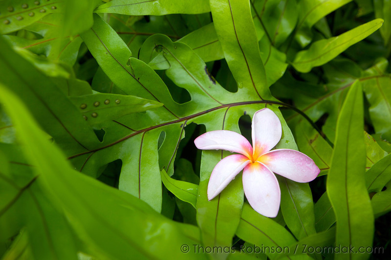 A blossom of Red Plumeria or Red Frangipani (Plumeria rubra) landed in a group of ferns in Poipu, Kauai.