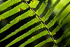 A Hawaiian Hāpuʻu fern glows backlit in the afternoon sunlight.
