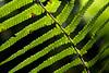 A Hawaiian Hāpuʻu fern glows backlit in the afternoon sunlight.