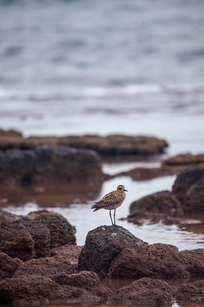 Kauai Sandpiper