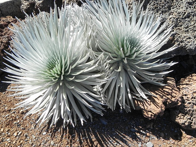 Silver Sword: Hawaiian state flower