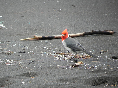 red-crested cardinal on black sand