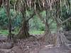 The hula-skirt trees at Hanakapi'ai Beach along the Kalalau Trail