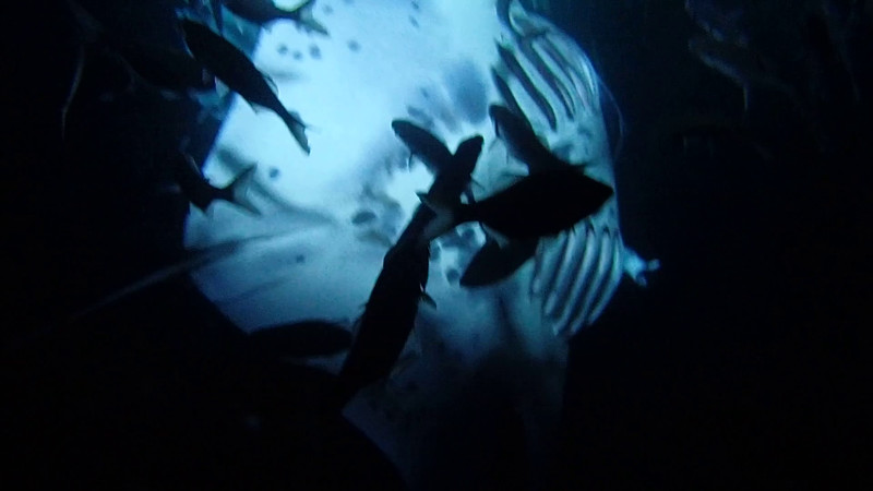 Snorkeling at night with giant manta rays