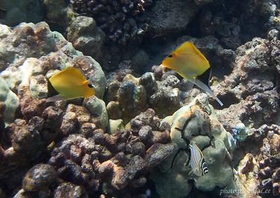 Longnose butterfly fish. or Lauwiliwili nukunuku 'oi 'oi