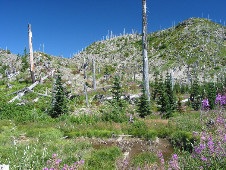 Regenerating growth within the blast zone of Mount St Helens.