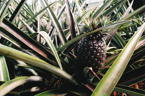 001-Pineapple