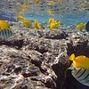 Yellow tangs and convict tangs