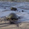 Short video beginning with Libbie digging for crabs and ending with the turtle from the prior 2 photos lumbering into the ocean.