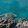 Turtle grazing in the clear water of the boat harbor.