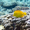 Yellow tang.  Very beautiful and very common.