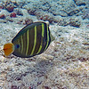 Sailfin tang.  This is one of the larger reef fish, with the adult body extending about 15 inches nose to tail.  Hard to see from this photo how the fish got it's name, but when disturbed, the sailfin tang extends its fins producing an impressive profile.