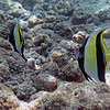 Moorish Idols, my favorite fish, mate for life and almost always travel in pairs.  They're in the angelfish family.
